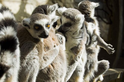 lemur_catta_group_web.jpg