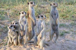 meerkats1.jpg