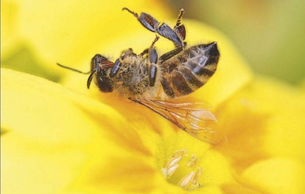 Tote Biene auf gelber Blüte