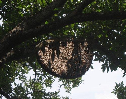 Riesenbienen