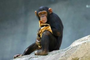 schimpanse01.jpg