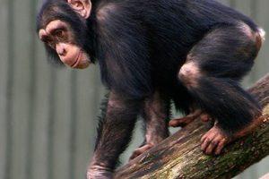 schimpanse02.jpg