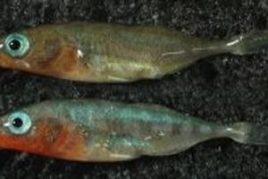 sticklebacks01.jpg